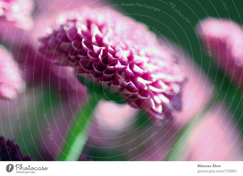 Green Plant Leaf Blossom Spring Bright Pink Fresh Violet Fragrance Exotic Blur