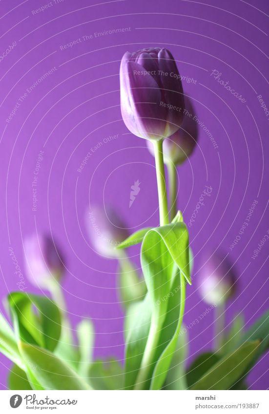 Purple break Nature Plant Flower Tulip Leaf Blossom Fresh Beautiful Green Violet Tulip blossom Light Bouquet Joy Colour photo Blur Shallow depth of field