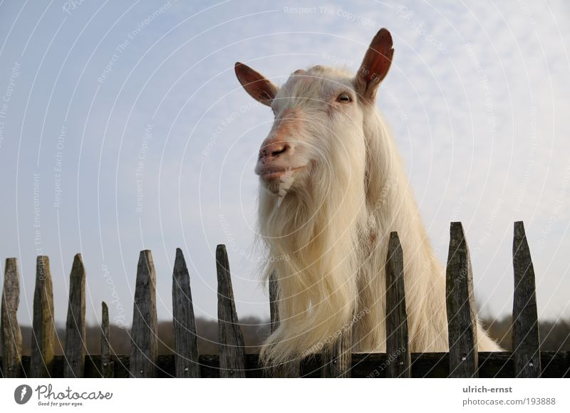 beard Animal Farm animal Animal face 1 Observe Funny White Willpower Attentive Watchfulness Wanderlust Colour photo Subdued colour Close-up Copy Space left Day