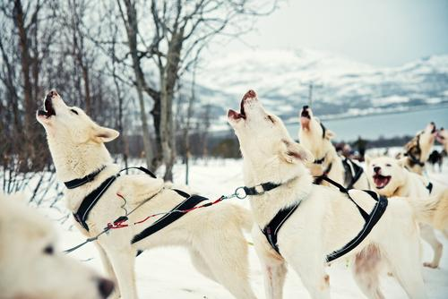 Howling Husky before the winter sleigh ride Hunting Adventure Expedition Winter Snow Hiking Winter sports Snowcapped peak Wild animal Dog Animal face Paw