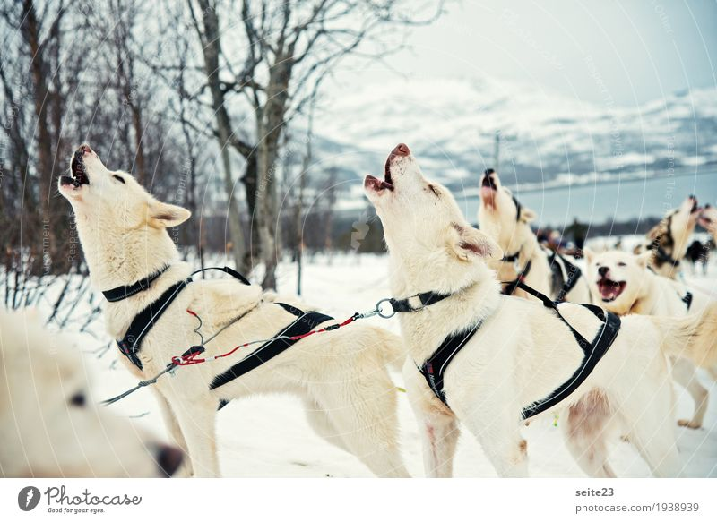 Nature Dog Blue White Joy Winter Snow Sports Bright Hiking Wild animal Group of animals Adventure Snowcapped peak Driving Running