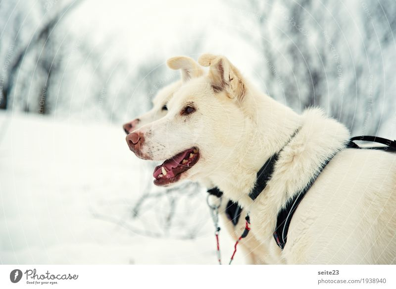 Dog Vacation & Travel White Animal Joy Cold Natural Movement Sports Brown Bright Wild Wild animal Walking To enjoy Fitness