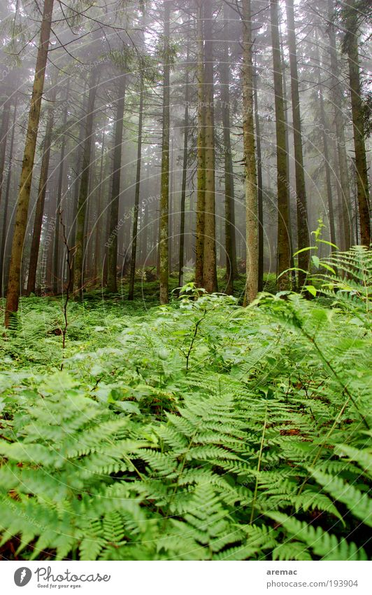 fern forest Environment Nature Landscape Plant Bad weather Fog Rain Tree Fern Forest Dark Green Calm Colour photo Exterior shot Morning Day