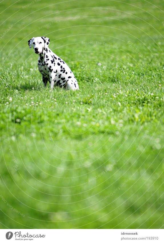 Dalmatian in the countryside Nature Sunlight Summer Beautiful weather Park Meadow Animal Pet Dog 1 Looking Sit Wait Free Friendliness Natural Positive Green