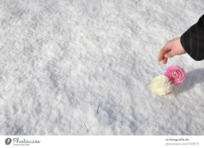 Human being Hand White Beautiful Flower Winter Life Cold Snow Spring Garden Blossom Ice Pink Arm In pairs
