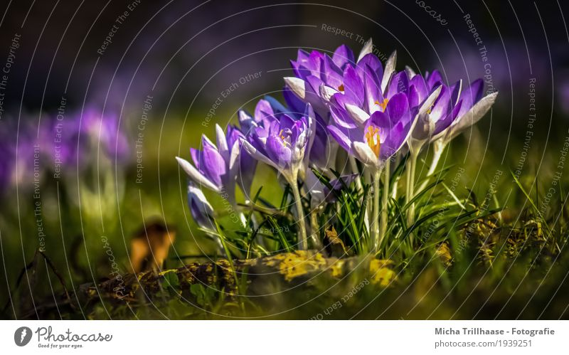 Crocuses in the sunshine Environment Nature Landscape Plant Earth Sun Sunlight Spring Weather Beautiful weather Flower Meadow Blossoming Fragrance Illuminate