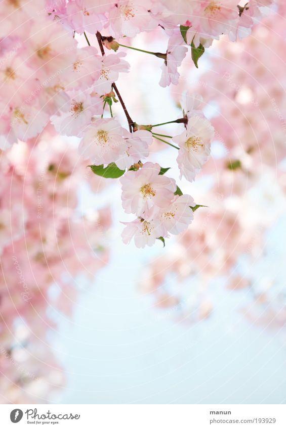 cherry blossom Senses Relaxation Fragrance Baptism Gardening Market garden Nature Sky Spring Tree Blossom Cherry tree Cherry blossom Cherry Blossom Festival