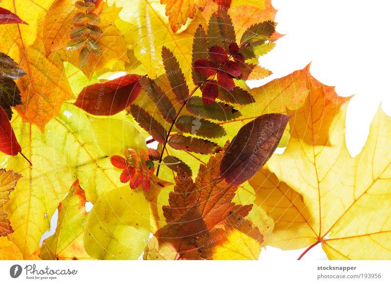 Autumn Nature Plant Leaf Yellow Orange Seasons Holiday season
