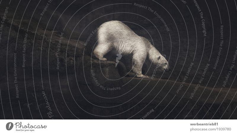 Climbing white polar bear artwork Design Mountaineering Art Artist Work of art Rock Animal Wild animal Zoo Bear Polar Bear 1 Calm Unwavering Loneliness