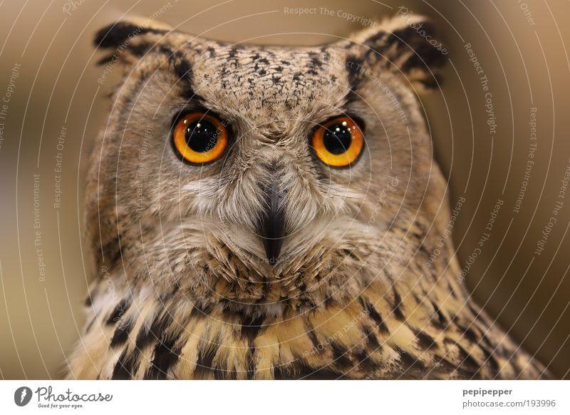 Eyes(gaze) Beautiful Nature Wild animal Bird 1 Animal Esthetic Brown Colour photo Exterior shot Close-up Animal portrait Owl birds Owl eyes Gaze Animal face