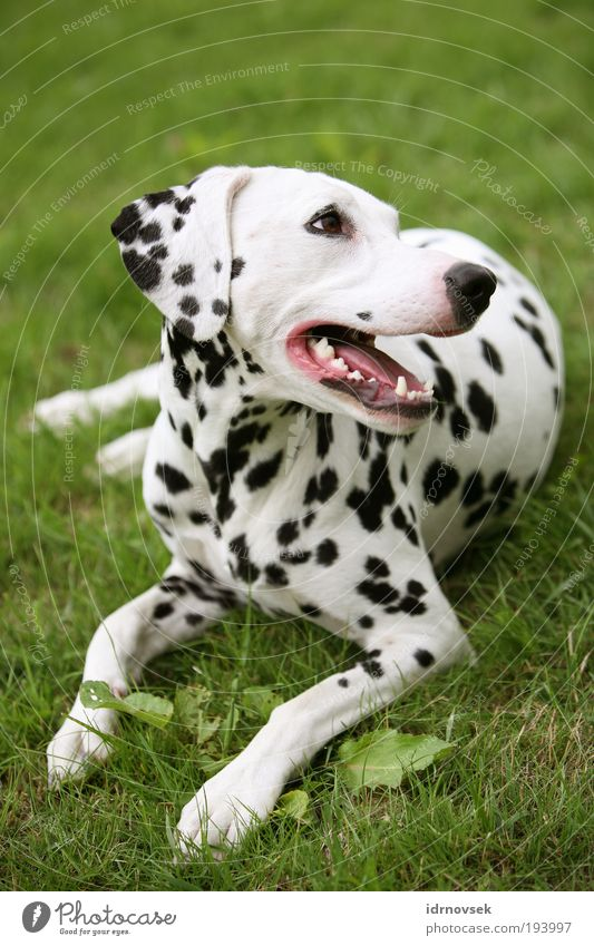 Dalmatian in the green 2 Nature Summer Garden Park Meadow Animal Pet Dog Animal face 1 Lie Looking Friendliness Beautiful Green Pink Black White Contentment