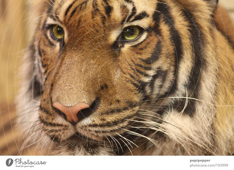eye of the tiger Safari Expedition Nature Wild animal Cat 1 Animal Glittering Esthetic Gold Pelt Eyes Colour photo Exterior shot Day Animal portrait Forward