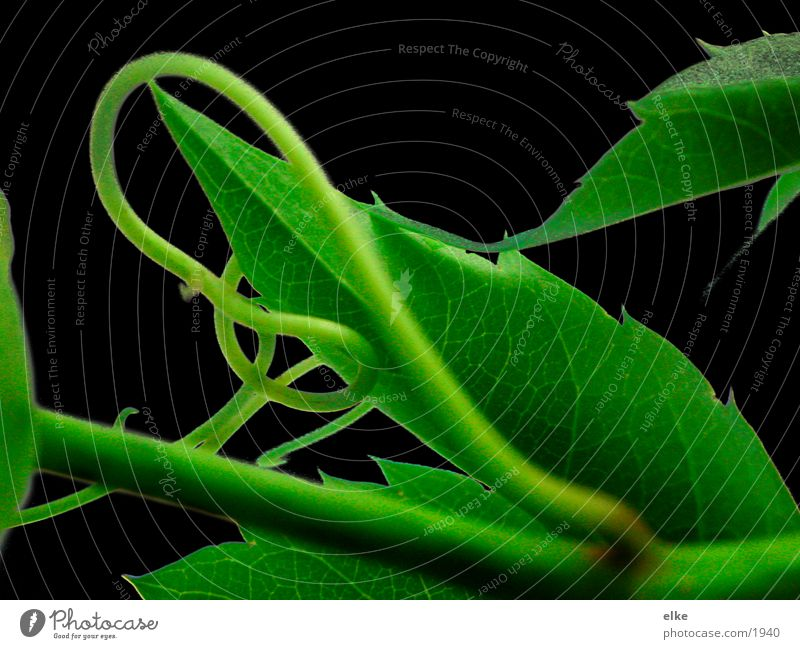 curved Leaf Ivy Tendril Plant