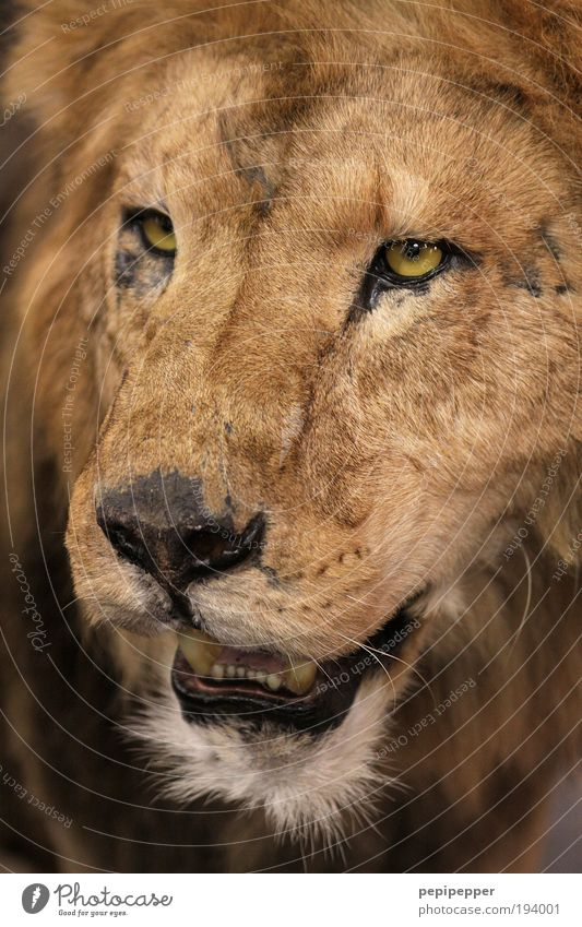 Cat Nature Old Animal Eyes Hair and hairstyles Brown Gold Glittering Wild animal Cool (slang) Threat Pelt Desert Catch Zoo