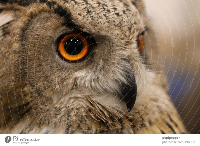 eye contact Nature Landscape Moon Animal Wild animal Bird Animal face Wing Claw Zoo 1 Feeding Aggression Esthetic Threat Large Brown Cool (slang) Owl birds