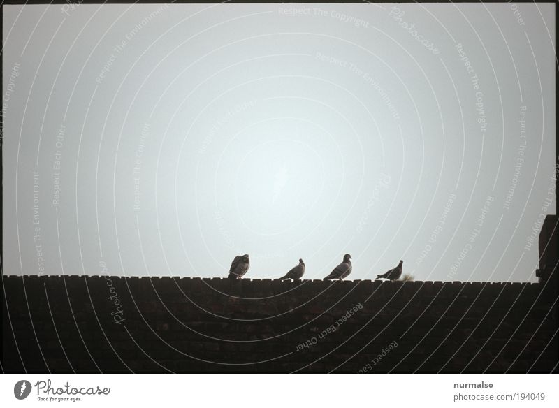 rather four pigeons. . . Art Animal Wild animal Bird Pigeon 4 Group of animals Sign Relaxation Flying To feed Feeding Hunting Sit Dark Far-off places Astute