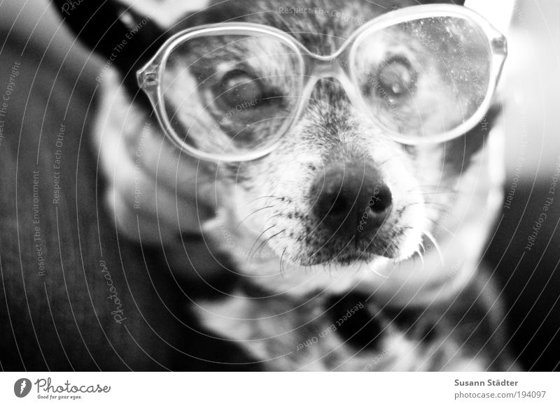 Animal Gray Dog Black & white photo Eyeglasses Family & Relations Pelt Intellect Pet Smart Snout Head Blind Human being Ashtray Looking