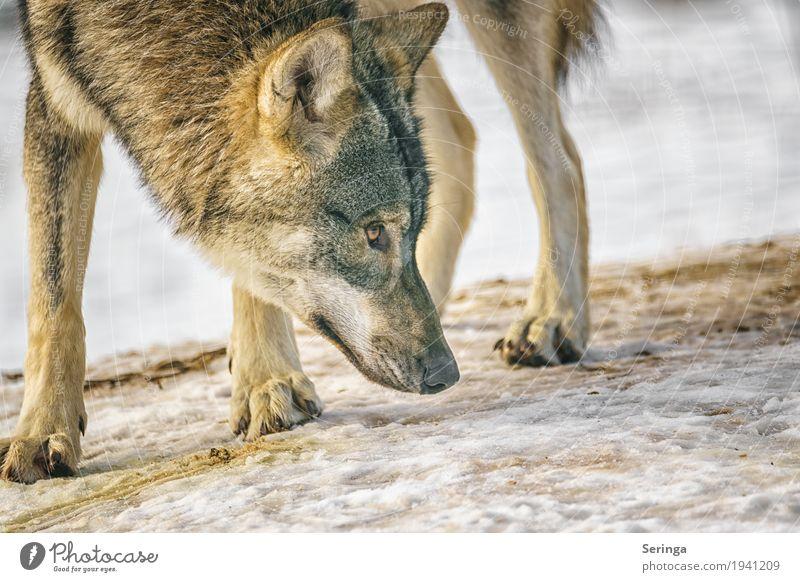 Nature Dog Animal Wild animal Pelt Animal face Zoo To feed Paw Claw Wolf Land-based carnivore Animal tracks