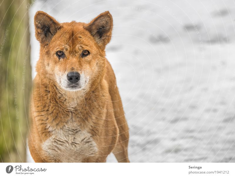 dingo Animal Wild animal Animal face Pelt Paw Animal tracks Zoo 1 To feed Dingo Colour photo Multicoloured Exterior shot Deserted Copy Space right Day Light
