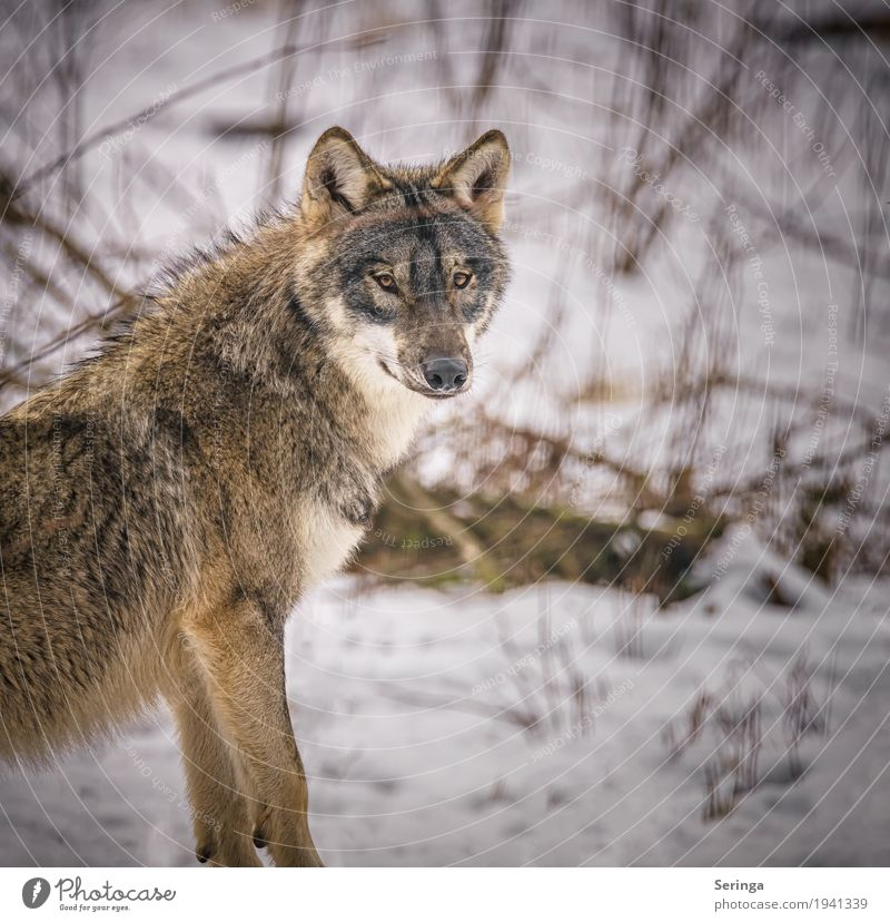 Dog Animal Wild animal Pelt Hunting Animal face Zoo Claw Pack Wolf Land-based carnivore