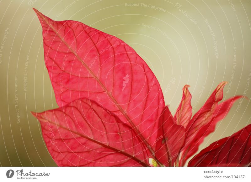 Red like a poinsettia Plant Flower Leaf Blossom Pot plant Exotic Fantastic Beautiful Green Christmas star Colour photo Close-up Detail Neutral Background Day