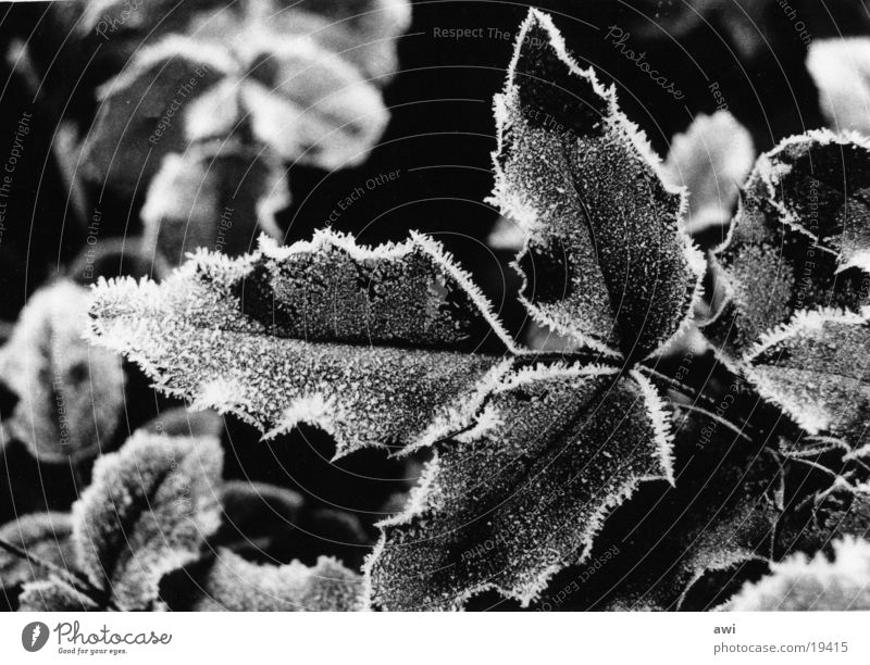 frost Leaf Holly Cold Macro (Extreme close-up) Frost Hoar frost Black & white photo Twig
