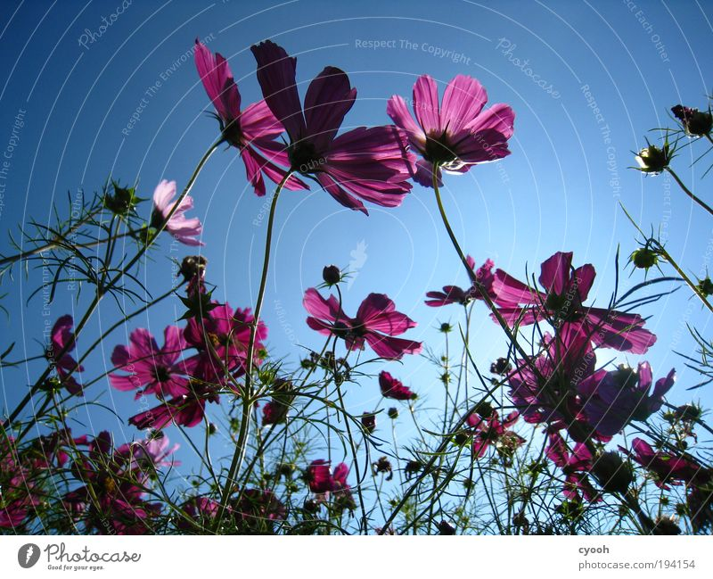 Sky Nature Plant Blue Beautiful Summer Flower Calm Warmth Blossom Spring Pink Dream Happiness To enjoy Blossoming