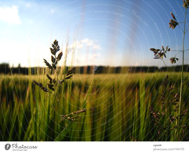 It's summer... Nature Air Sky Cloudless sky Sunlight Summer Beautiful weather Warmth Grass Field Breathe Observe To enjoy Growth Free Infinity Natural Blue Gold