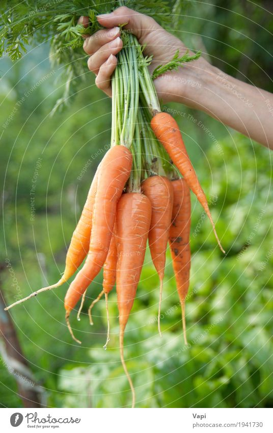 Bunch of carrots in a hand Food Vegetable Lettuce Salad Nutrition Eating Organic produce Vegetarian diet Diet Shopping Health care Healthy Eating Woman Adults