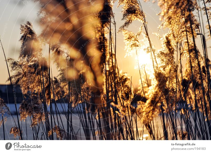 Reed Grass II Relaxation Vacation & Travel Freedom Nature Water Cloudless sky Autumn Winter Beautiful weather Ice Frost Plant Common Reed Reeds Marsh grass
