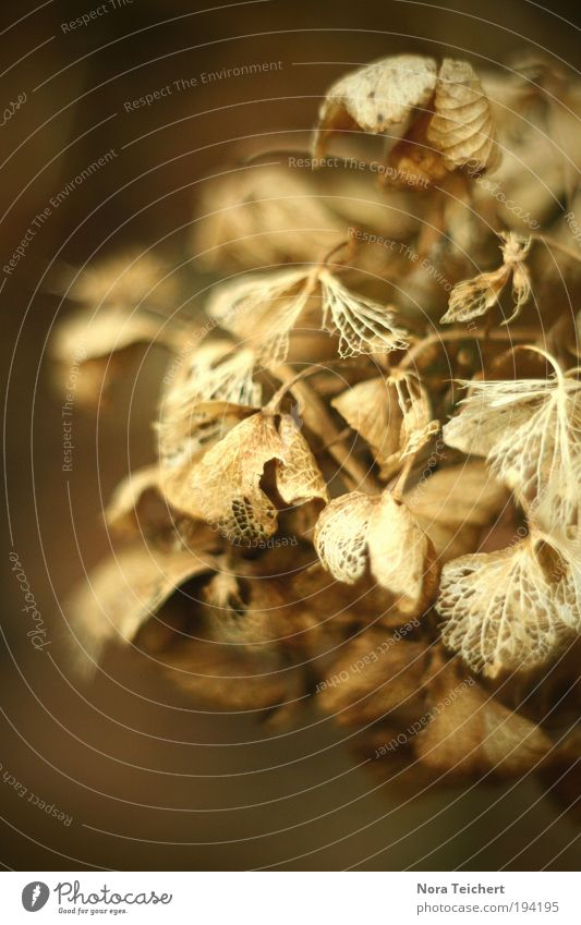 Art. Environment Nature Plant Autumn Winter Bushes Leaf Blossom Hydrangea Old Faded To dry up Esthetic Beautiful Transience Change Colour photo Exterior shot