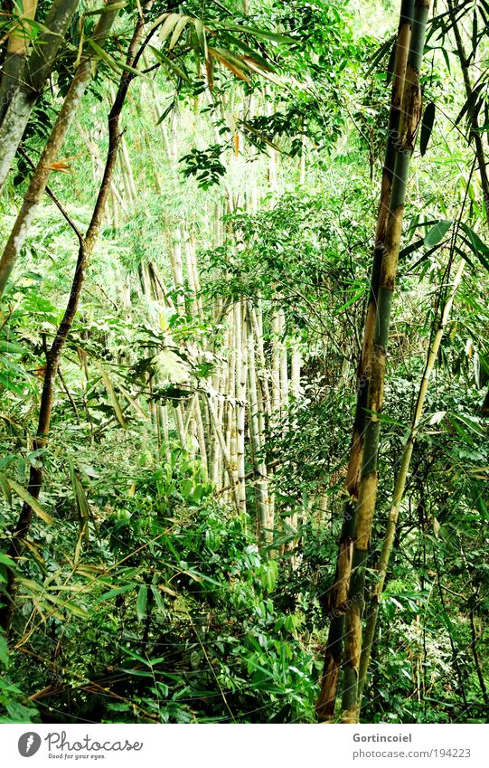 Bali Bamboo Environment Nature Plant Spring Summer Tree Grass Leaf Foliage plant Wild plant Exotic Bamboo pole Bamboo stick Forest Virgin forest Asia Green