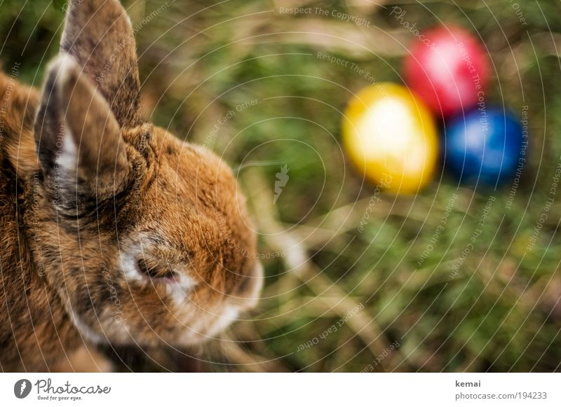 Nature Blue Red Animal Yellow Grass Spring Garden Brown Feasts & Celebrations Earth Sit Easter Animal face Culture Pelt