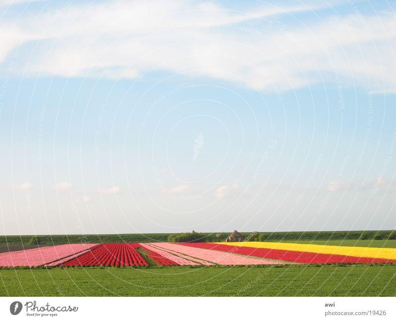 Sky Flower Green Blue Landscape Field Earth Tulip Dike