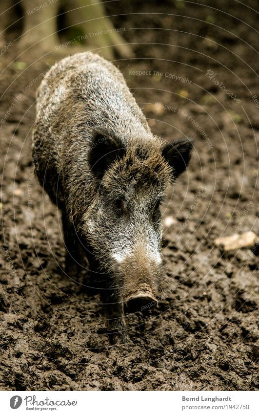 Wild boar in mud Earth Autumn Bad weather Forest Animal Wild animal Animal face Pelt Zoo 1 Observe Stand Wait Dirty Healthy Cold Curiosity Brown Gray Power