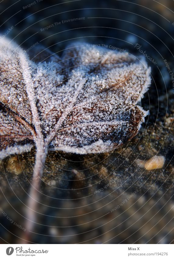 sugar Autumn Winter Ice Frost Leaf Dark Cold Hoar frost Colour photo Subdued colour Exterior shot Close-up Macro (Extreme close-up) Deserted Copy Space bottom