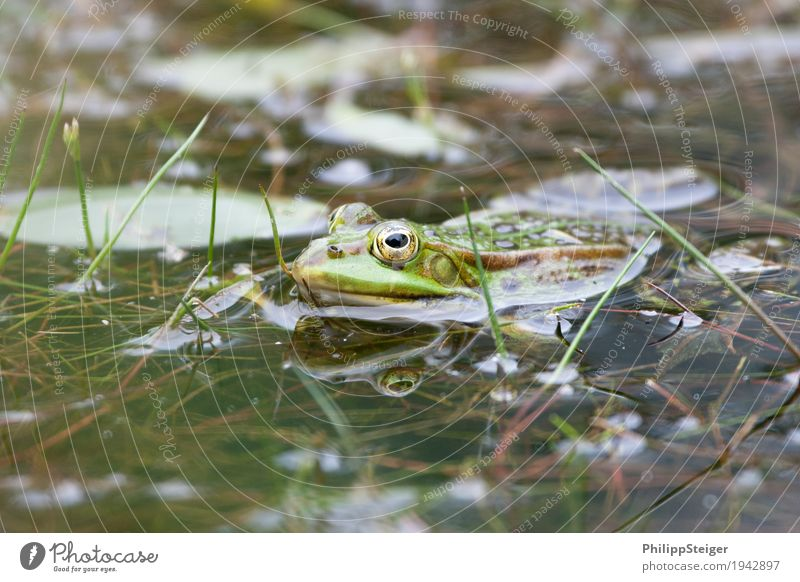 Frog in the pond Plant Water Pond Lake Fresh Amphibian Eyes Clarity Green Shallow Colour photo Macro (Extreme close-up) Deserted Day Reflection Worm's-eye view