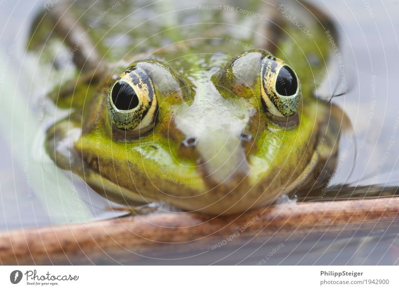 Big eyes Plant Water Pond Lake Frog Fresh Amphibian Day Considerable Shallow Colour photo Macro (Extreme close-up) Deserted Reflection Worm's-eye view Looking