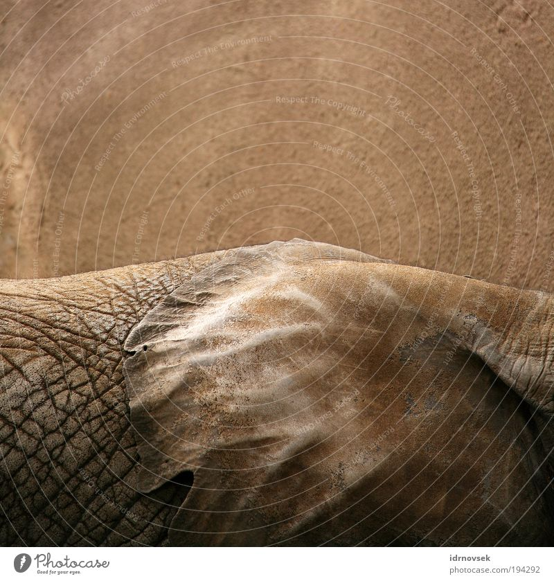 Elephants live quietly Zoo Animal Wild animal 1 Large Near Natural Dry Brown Gray Moody Secrecy Serene Calm Wisdom Unemotional Esthetic Contentment Life