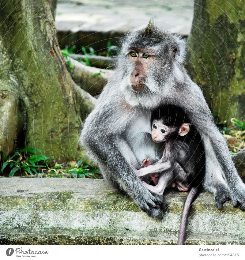 Bali Monkeys Environment Nature Animal Tree Virgin forest Asia Wild animal Animal face Pelt macaque Young monkey Baby animal Small Motherly love Appease