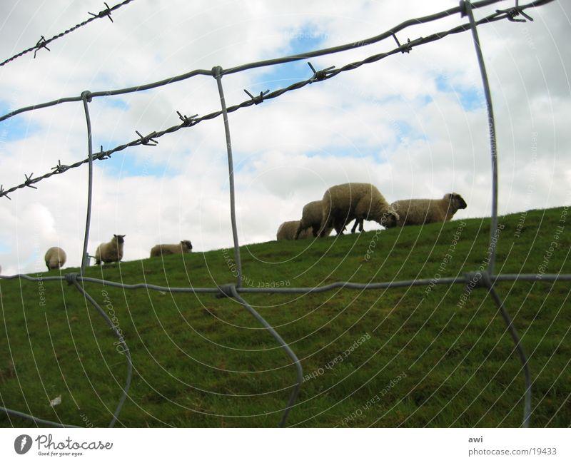 sheep Sheep Dike Fence Grass Green