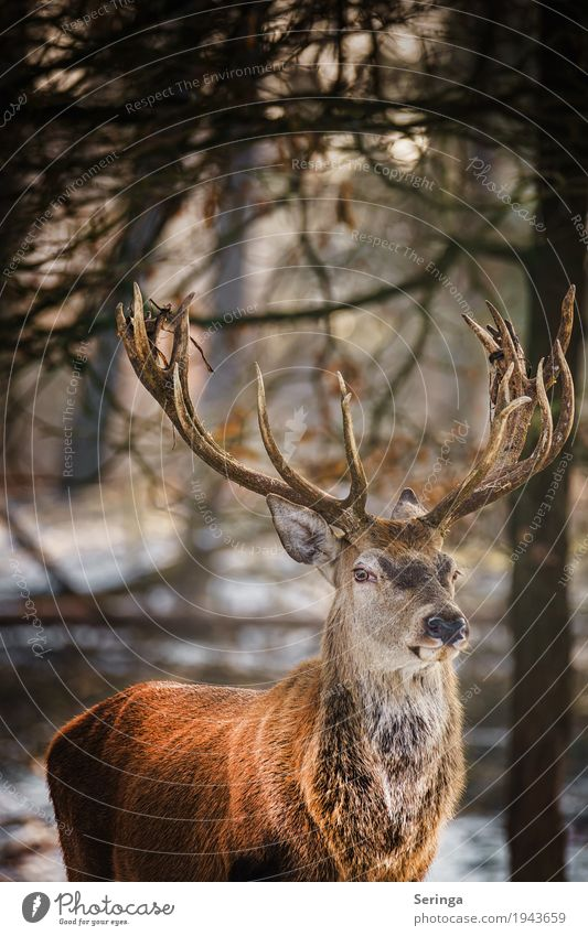 Stalked the Papa Deer Animal Wild animal Animal face Animal tracks Zoo 1 To feed Red deer Antlers Colour photo Multicoloured Exterior shot Deserted