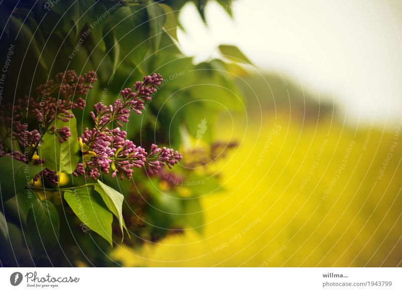 Lilacs in May Nature Plant Spring Beautiful weather Canola field Fragrance Blossoming Pink Violet Lilac leaf lilac