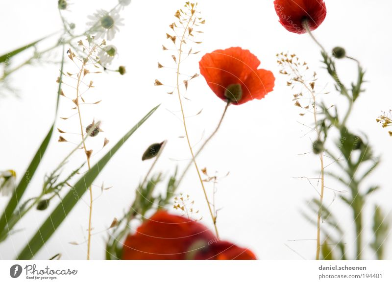 Nature White Flower Plant Red Summer Leaf Meadow Blossom Grass Spring Poppy Beautiful weather Herbaceous plants Time Poppy blossom