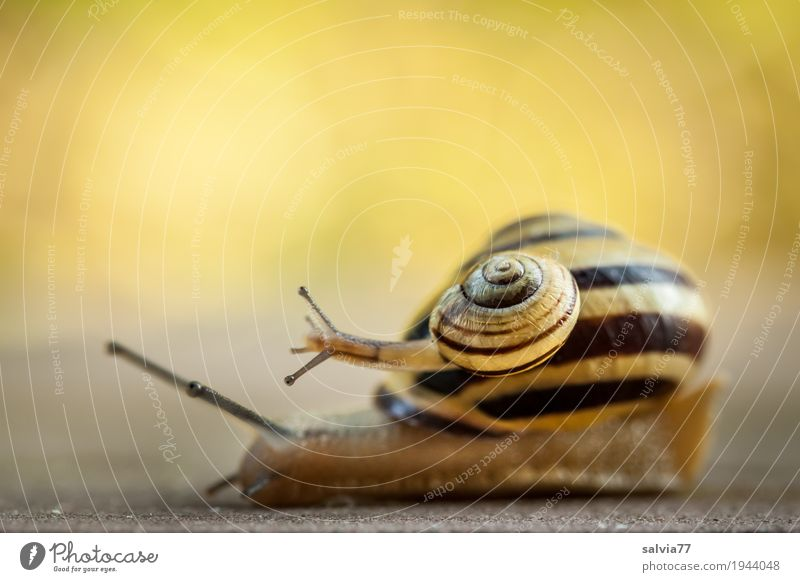 Just crawling? Joy Nature Spring Summer Garden Wild animal Snail Brown-lipped snail 2 Animal Touch Movement Cute Above Slimy Yellow Spring fever Speed Ease Team