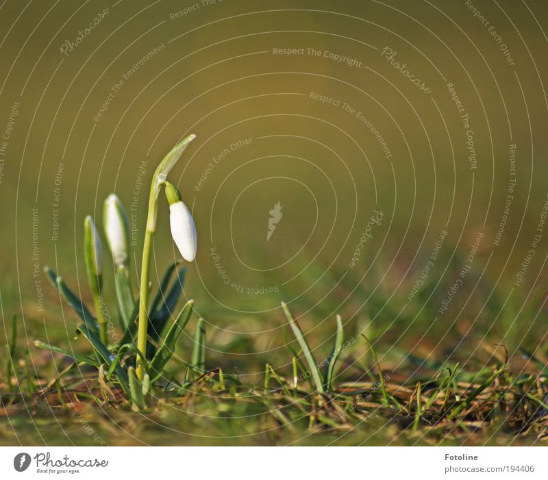 snowdrops Environment Nature Landscape Plant Elements Earth Spring Climate Weather Beautiful weather Flower Grass Leaf Blossom Park Meadow Fragrance Fresh