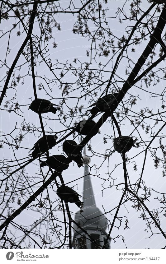 deaf pigeons Tree Garden Church Roof Animal Bird Pigeon Group of animals Feeding Black & white photo Exterior shot Dawn Contrast Shallow depth of field