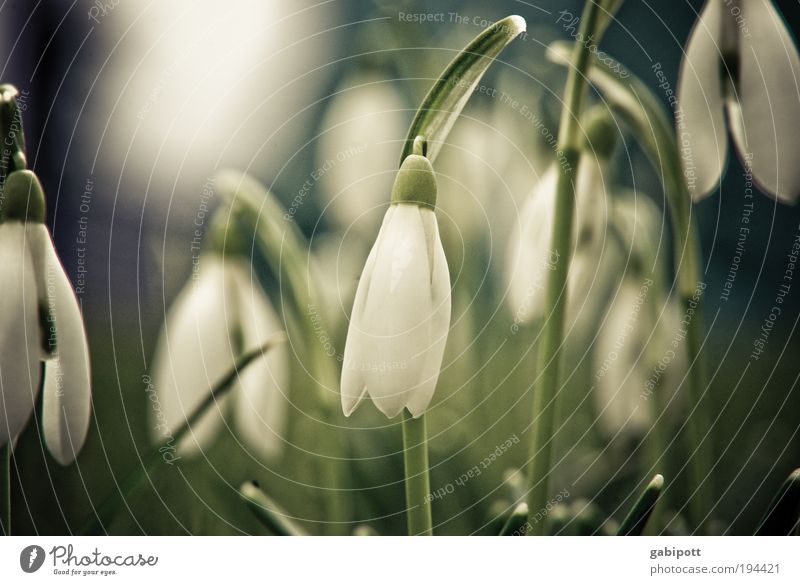 when the spring bells ring softly... Environment Nature Landscape Spring Winter Beautiful weather Plant Flower Grass Wild plant Snowdrop Meadow Discover Growth