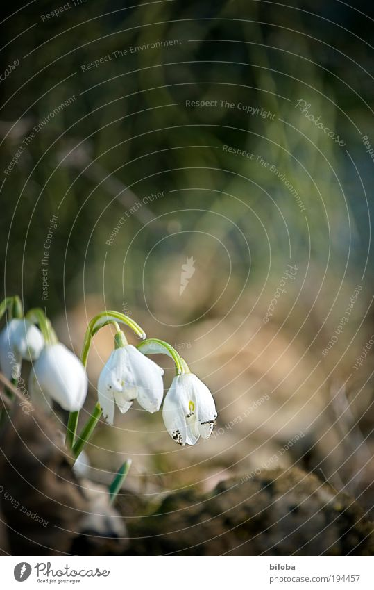 spring awakening Environment Nature Plant Flower Blossom Bright Brown Green White 4 Snowdrop Spring Spring flower Colour photo Copy Space top Morning Light