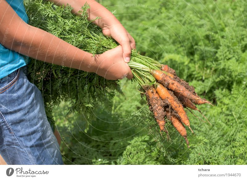 Carrots in a vegetable garden Nature Plant Green Leaf Natural Garden Dirty Growth Fresh Ground Vegetable Farm Harvest Vegetarian diet Gardening Hold
